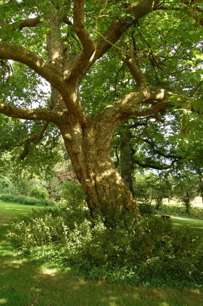 Gaia-House-garden-oak-tree