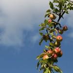 apples sky