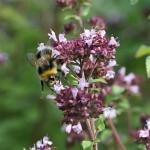 herbs bee