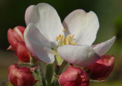 blossom-buds